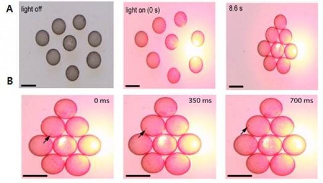 나노 계면활성제로 둘러싸인 액체방울이 레이저를 비춘 지점으로 모인다. 약 8초 후에는 육각형을 이루며 압축적으로 조립된다. 액체방울이 레이저를 향해 움직이는 것은, 나노입자가 빛을 흡수하고 액체를 데워 만드는 대류 때문이다. - IBS 제공